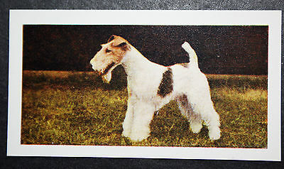 Wire Haired Fox Terrier  #  Vintage Colour Photo Card
