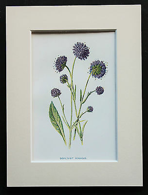Devil's Bit Scabious - Mounted Antique Botanical Print, Wild Flower by Hulme