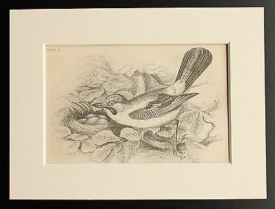 Jay - Sepia Mounted Antique Bird Print 1880s Engraving by Lizars
