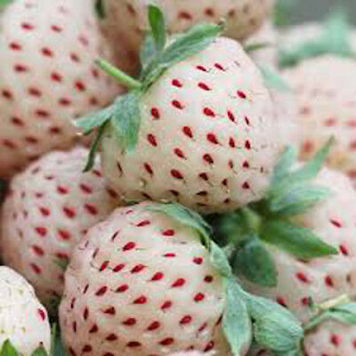 6/2/1 White Alpine Strawberry Plants PINEBERRY Pineapple Flavour everbearing 1-6
