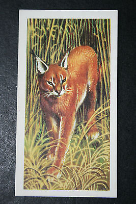 Caracal   Big Cat   Vintage Illustrated Colour Card  VGC