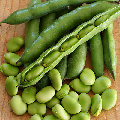 VEGETABLE - BROAD BEAN - MEDES -  35 SEEDS - High-yielding POPULAR