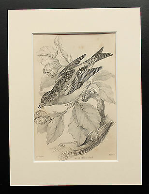 Brambling - Sepia Mounted Antique Bird Print 1880s Engraving by Lizars