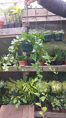 Hedera  Trailing Ivy Climbing Evergreen Plant In Hanging Pot
