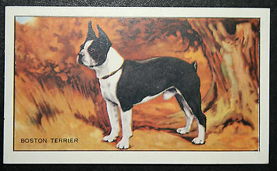 Boston Terrier   Original  Vintage Illustrated Card  VGC