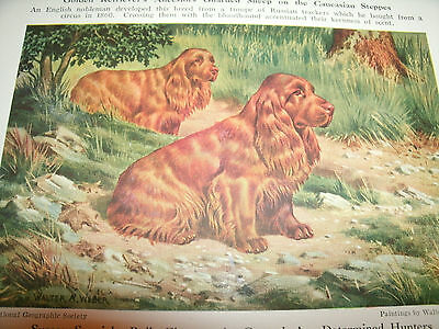Vintage Walter A. Weber Sussex Spaniel bookplate 1947 National Geographic Mag