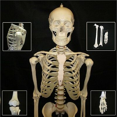 New Life Size Advanced Human Anatomical Skeleton Model + Stand + Bone Number Kit