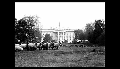 WORLD WAR I White House Lawn Sheep Grazing PHOTO, President Woodrow Wilson