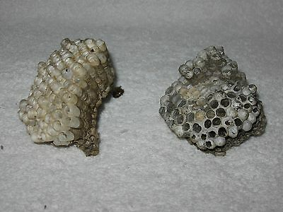 2 Texas Honeycomb Paper Yellow Jacket Nests Taxidermy Science Project Boy Scout