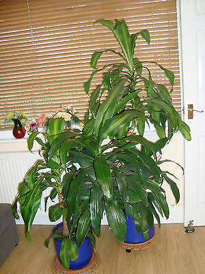 Large House Plant Palm evergreen in pot