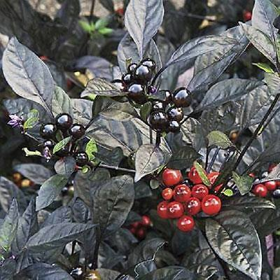 Rare - Ornamental and edible Hot Pepper - *Black Pearl* - 10 isolated seeds