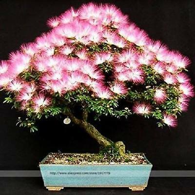 Albizia Julibrissin   -   *Persian Silk Tree*   -    8 seeds