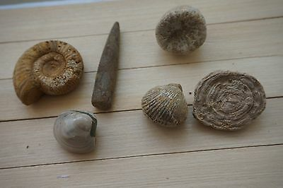 A lot of natural Marine organisms fossils  coral shellfish  Ammonites F96