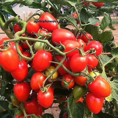 Tomato RED GRAPE ~ SUPER SWEET COMPLEX FLAVOR ~ 10+  CERTIFIED ORGANIC SEEDS