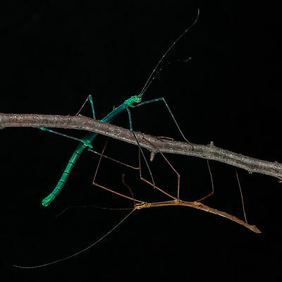 """10x Myronides sp. """"Peleng"""" stick insect eggs/PHASMID OVA green turquoise species"""