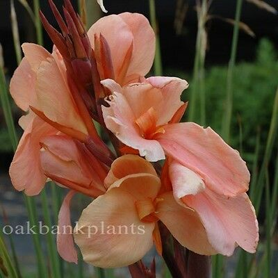 Canna Lily Champagne