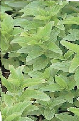 Herb - Spearmint - Mentha spicata - 500 seeds - Economy Pack
