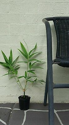10xChinese dwarf clumping bamboo shrub plant grows 3m. free postage