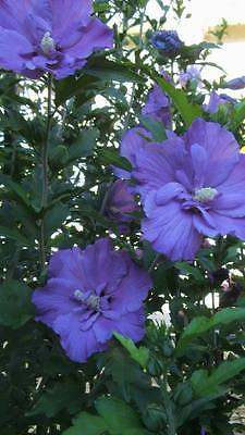 Rose of Sharon BLUE !!! Hibiscus Syriacus BLEU !!! 12 graines seeds