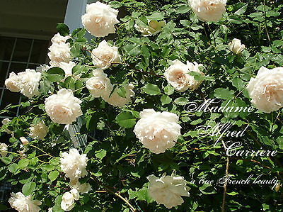 Rose - climbers - Madam Alfred Carriere  & White Iceberg - seeds