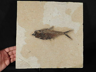 PERFECT BONES! on This HUGE 100% Natural Diplomystus Fish Fossil Wy 2711gr e