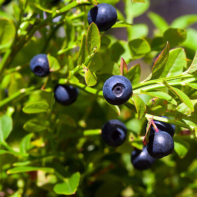 10 Bilberry seedling plants European Blueberry permaculture medicinal fruit