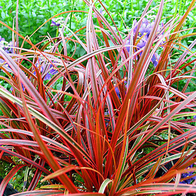 3 Uncinia rubra Red low Grass plugs, Hardy Evergreen Groundcover Perennial plant