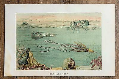 Cephalopods Squid Octopus - 1896 Antique Chromo-Lithograph Print - Lydekker