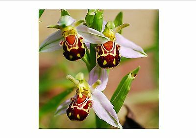 UNIQUE!!! Bee Orchid Flower Seeds Smile Face Interesting Flowers Seeds, 100 PC