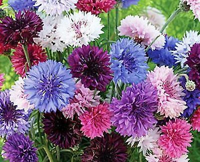 Bachelor Buttons Polka Dot Mix  Edible Flowers Drought Tolerant Easy 200+ Seeds