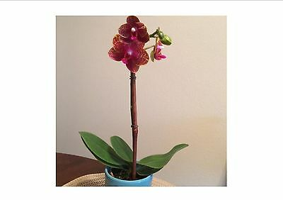 Compact Phalaenopsis Orchid seeds In Bloom WAXY flowers garden decoration, 20 PC