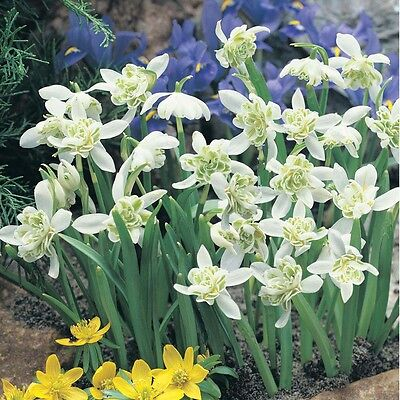 100 DOUBLE Snowdrop Bulbs In The Green (Flore Pleno) SPRING flowering
