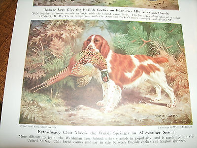 Vintage Walter A Weber Welsh Springer Spaniel bookplate 1947 National Geographic