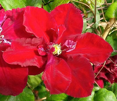 Clematis - Charmaine - seeds
