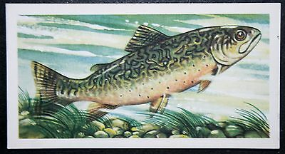 BROOK TROUT   Freshwater Fish  Vintage Illustrated Card    VGC