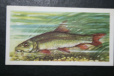 BARBEL  Freshwater Fish  Vintage Illustrated Card # VGC / EXC