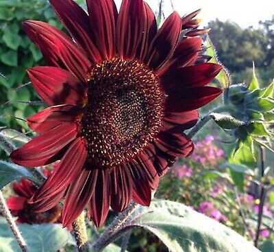 Sunflower Moulin Rouge  F1 Hybrid Gorgeous Color Cut Flower COMBINED SHIPPING