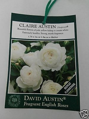 potted Claire Austin,  English white Rose, can be bush or Climber