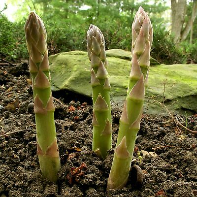 Asparagus SEEDS  Mary Washington PERENNIAL HEAVY YIELDS COMBINED SHIPPING
