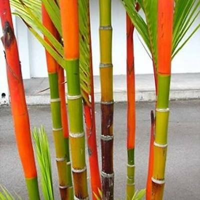 Cyrtostachys renda  -  *Sealing Wax Palm*  -  5/10/50/100 seeds