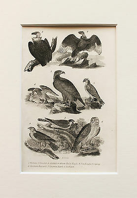 1830s Antique Natural History Print Engraving - Mounted - Birds of Prey