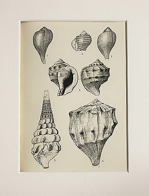Shells Seashells Mollusc - Antique Natural History Print Lithograph - Mounted 21