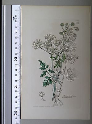 English Botany, Smith, Sowerby, handcoloured copperplate,434, 3.Edition, 1850.