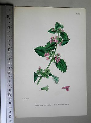 English Botany, J. Sowerby, handcoloured Lithograph, Plate 1065, 3.Edit. 1880.