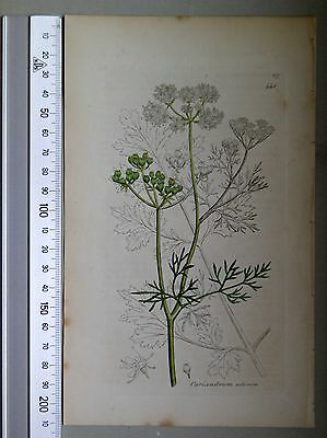 English Botany, Smith, Sowerby, handcoloured copperplate, 441, 3.Edition, 1850.