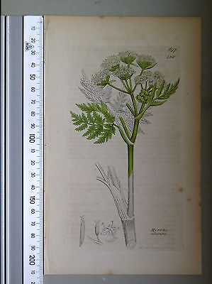English Botany, Smith, Sowerby, handcoloured copperplate, 436, 3.Edition, 1850.