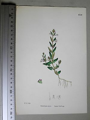 English Botany, J. Sowerby, handcoloured Lithograph, Plate 1061, 3.Edit. 1880.