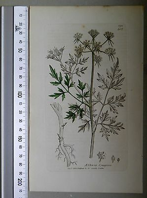 English Botany, Smith, Sowerby, handcoloured copperplate, 3.Edition, 1850.