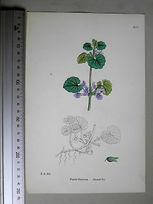 English Botany, J. Sowerby, handcoloured Lithograph, Plate 1055, 3.Edit. 1880.