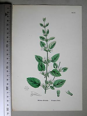English Botany, J. Sowerby, handcoloured Lithograph, Plate 1053, 3.Edit. 1880.